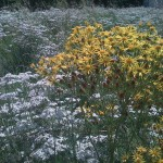 Upper terrace meadow white & yellow wildflowers